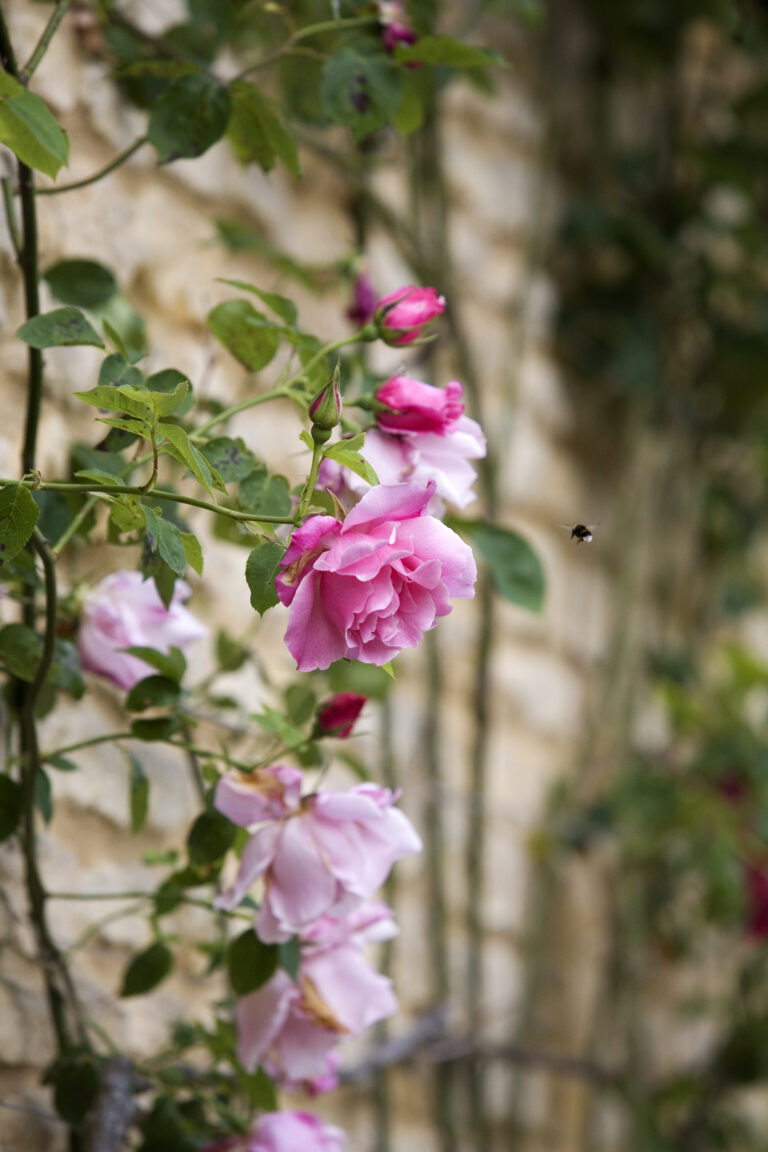 Pink roses climbing up a building with bee